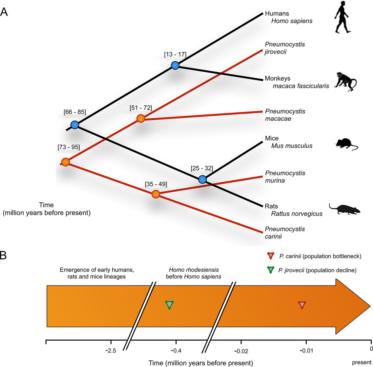 Figure 6 - Overview of the timing and evolution of Pneumocystis and their mammalian hosts